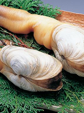 日間賀島の白ミル貝(波美貝)の写真